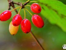 成熟的山茱萸果【2】