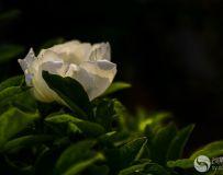 牡丹仙子-白牡丹