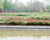 南阳世界月季大观园随拍(7)——东湖