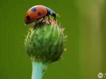 """2014第四期月赛""""走进微距""""--《树叶上的瓢虫》组照"""