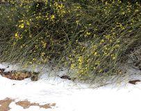 雪地盛开迎春花