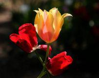 植物园花卉《郁金香》—5