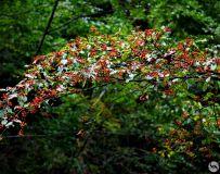 山果满枝头