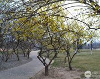 公园的连翘花