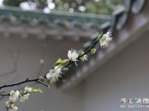一枝青梅出墙来----拍摄于广州香雪公园