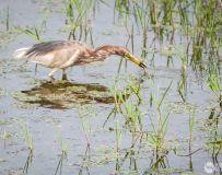 丹江湖湿地--池鹭翩跹
