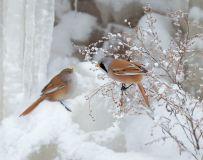 寒冰俏靓鸟