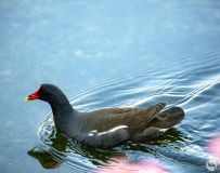 黑水鸡(拍鸟习作)