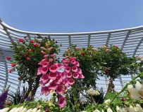 花开月季大观园