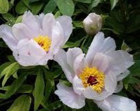 牡丹花开春意浓