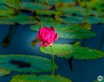 荷塘一枝花