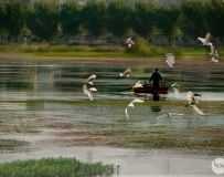 白鹭伴渔船