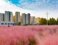 城市的风景——粉黛草(5)