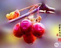 冬天里的海棠果