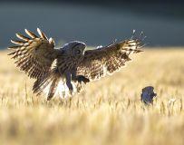 自己抓的——乌林鸮