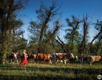 牧归的老牛是我同伴