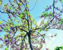 《最美的樱花》(手机拍摄)