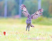 《义无反顾》—— 乌林鸮