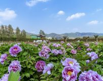 徳云山下牡丹园