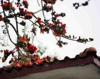 红红的木棉花(3)