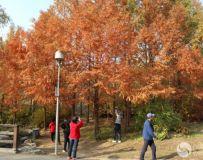 北京奥林匹克公园红杉树(1)