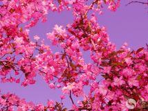 海棠花开(2)