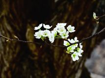 """""""徒步""""杯摄影月赛四月— 《老树新花》作者:耿建"""