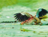 黄尾鹣----特技:破洞捕鱼