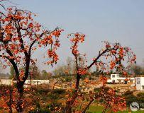 《金柿飘香盛湾镇》