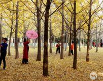 金秋北京奥森公园  红枫银杏彩叶飘飘(42)