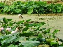【2013年第7期月赛】荷塘朱鹮1