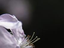 [月赛作品] [2014年4月影赛]组图 海棠如玉