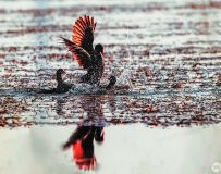 黑水鸡----水鸡中的金凤凰