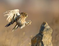 降落——纵纹腹小鸮