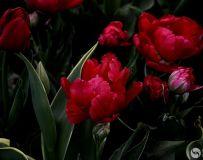 绚丽多彩的郁金香