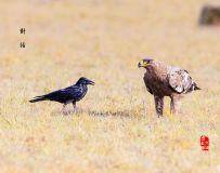 《草原雕与乌鸦》