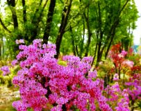杜鹃花开红艳艳