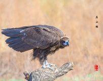 《座山雕》—— 秃鹫