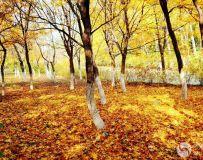 金秋北京奥森公园  红枫银杏彩叶飘飘(39)