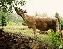 方城原生态--黄牛的美餐