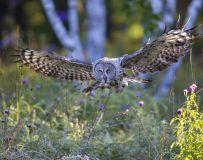 锁定目标——乌林鸮