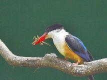 吃蚂蚱的白胸翡翠鳥