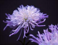 【紫菊花】