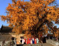 火了火了!淅川这两棵千年银杏树,成为深秋最美的风景!