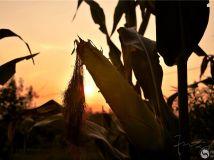 高调炫富的玉米