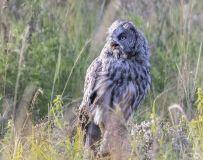 凶恶的眼神——乌林鸮