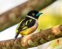 《黑黄阔嘴鸟》
