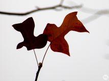 飞鸽与红叶