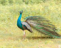 斯里兰卡蓝孔雀----雄鸡报晓