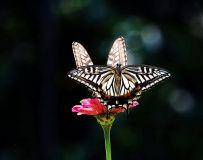 两只蝴蝶21.1